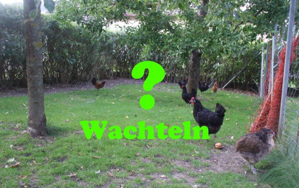 Wachteln und Hühner zusammen im Freilauf halten