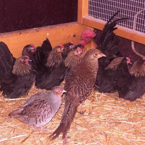 Wachteln und Hühner zusammen halten?