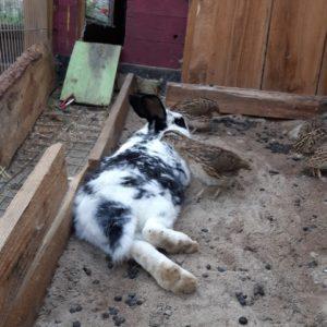 Kann man Wachteln und Kaninchen zusammen halten?