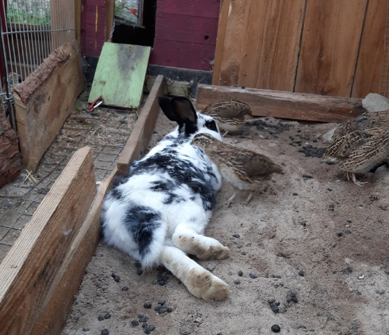 Wachteln und Kaninchen zusammen halten ist möglich