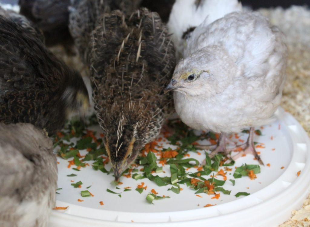 Gemüse und Gräser für die Wachtelküken