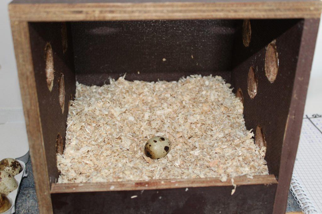 Legen Wachteln im Winter Eier