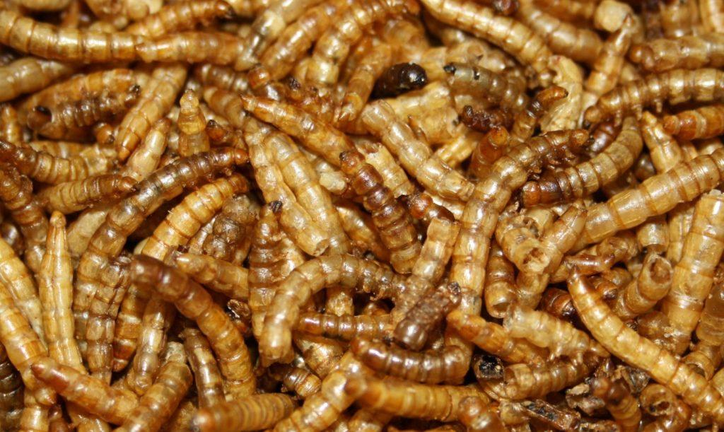 Legeleistung durch Mehlwürmer erhöhen