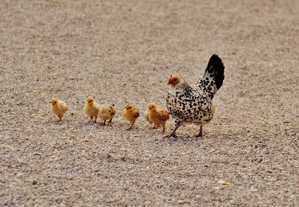 Wachteleier vom Huhn ausbrüten lassen
