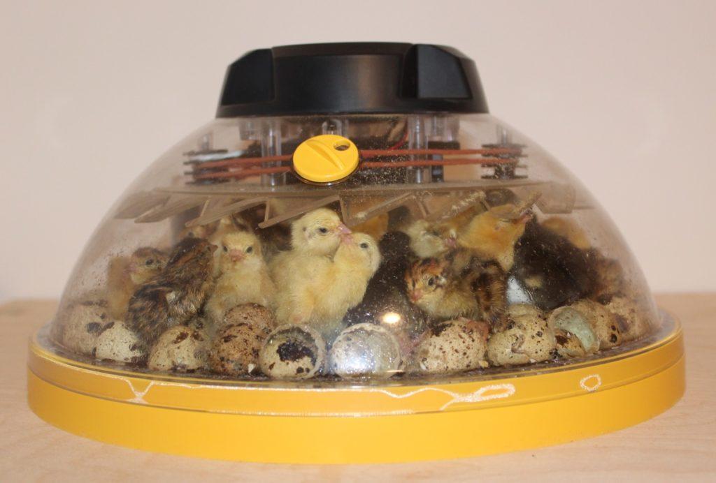 Wachtelküken im Inkubator