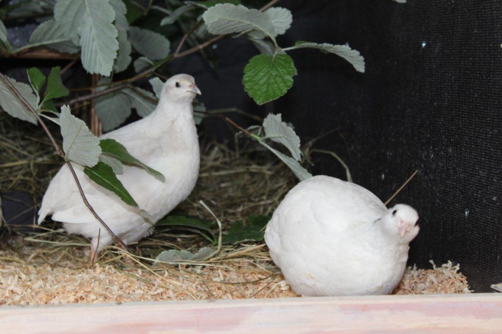 Wachteln ohne Hahn halten